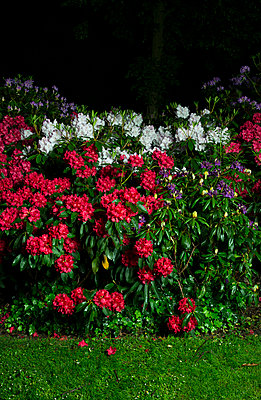 Rhododendron at night - p1132m925555 by Mischa Keijser