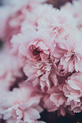 Blush pink blossom  - p1628m2272589 by Lorraine Fitch