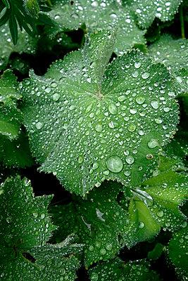 Raindrops on leaves of lady's mantle - p300m2103672 von Nabiha Dahhan