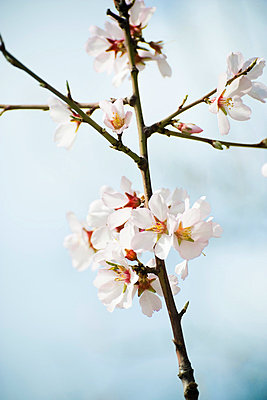 Almond tree in flower - p62314257f by Laurence Mouton