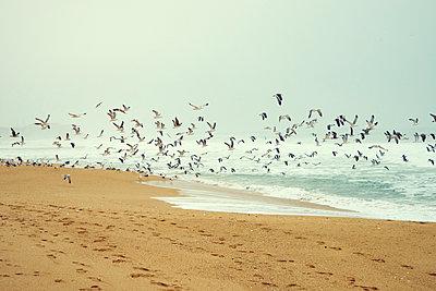 Flock of seagulls over beach - p1312m1222424 by Axel Killian