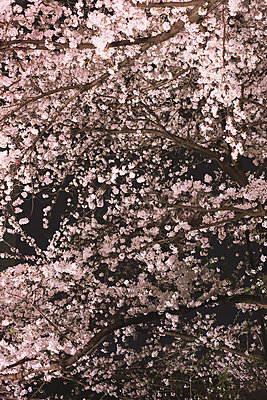 Cherry blossoms - p307m1006700f by Naho Yoshizawa