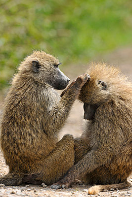 Two baboons - p533m1003309 by Böhm Monika