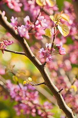 Redbud tree branches in full bloom - p624m710909f by Odilon Dimier