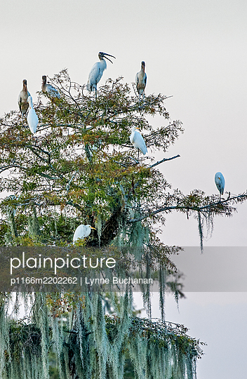 Birds perching on tree at dusk, Wewahitchka, Florida, USA - p1166m2202262 by Lynne Buchanan