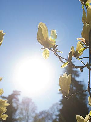 Magnolienblüte im Gegenlicht - p606m2172391 von Iris Friedrich