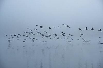 Cormorants in the autumn mist - p739m2039117 by Baertels
