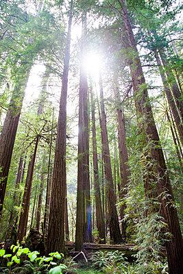 Muir Woods - p756m1057156 von Bénédicte Lassalle