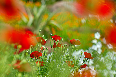 Wildflower Poppy Meadow - p1562m2149715 by chinch gryniewicz