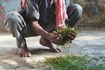 Pepper harvest - p1629m2211317 by martinameier