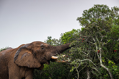 African Elephant - p1655m2233706 by lindsay basson