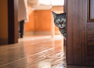 Tabby cat hiding behind a door at home - p300m1019406f by Ramon Espelt
