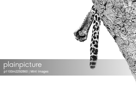 The foot and tail of a leopard, Panthera pardus, - p1100m2292860 by Mint Images