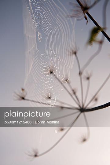 Wilde Möhre mit Spinnennetz - p533m1215488 von Böhm Monika