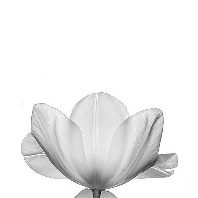 Monochrome tulip on white - p1470m1540401 by julie davenport