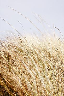 Dünengras - p415m1586109 von Tanja Luther