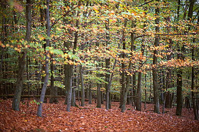 Forest in autumn - p608m858508 by Jens Nieth