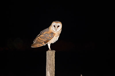 Barm owl in the night - p1166m2136905 by Cavan Images