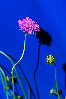flowers, plants, delicate - p694m811067 by Deanna DiMuro