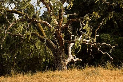 Tree, Point Reyes Station - p758m1004809 by L. Ajtay