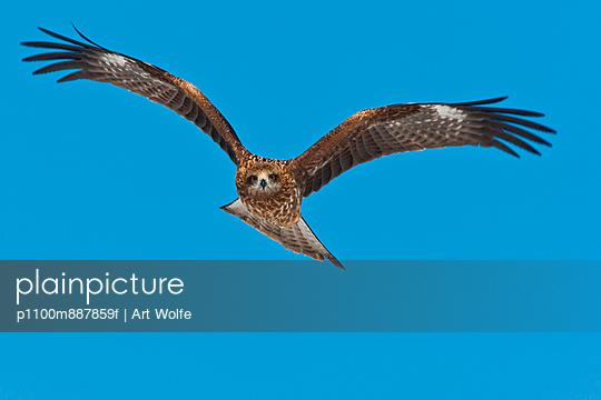 Common buzzard in flight - p1100m887859f by Art Wolfe