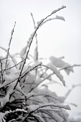 Twigs covered with snow - p1047m781085 by Sally Mundy