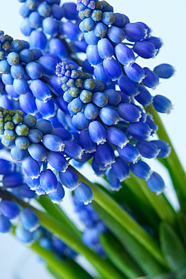 Blue hyacinths - p4730109f by Stock4B