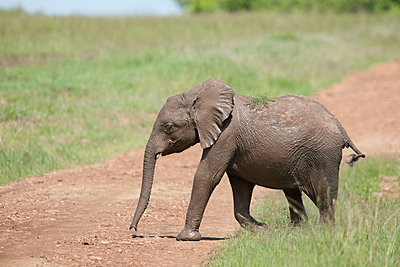 Young elephant - p533m1134184 by Böhm Monika