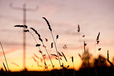 Silhouette von Grashalmen - p533m1474775 von Böhm Monika