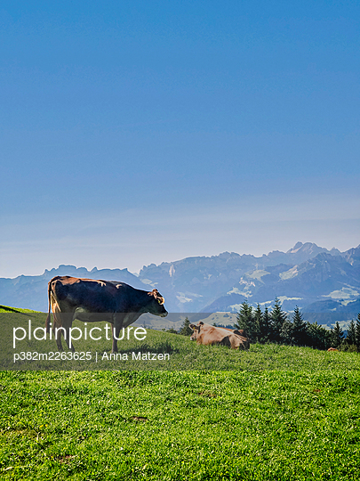 Two cows on the mountain pasture - p382m2263625 by Anna Matzen