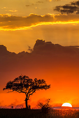 Tanzania, Serengeti National Park, Moru Kopjes. Sunrise at the end of the rainy season in June. Smoke from distant fires adds colour to the scene. Balanites tree in the foreground. - p651m2032769 by Jonathan & Angela Scott