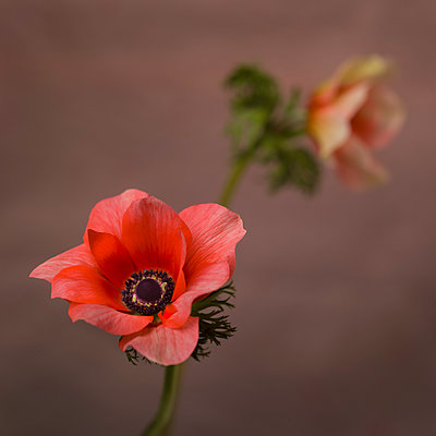 Two Pink Anemone Flowers, Selective Focus - p694m2068692 by Lori Adams