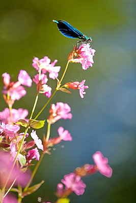 Dragonfly on flower - p1016m1539467 by Jochen Knobloch
