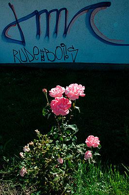Rosenstrauch vor einer Hauswand - p9790703 von Servas