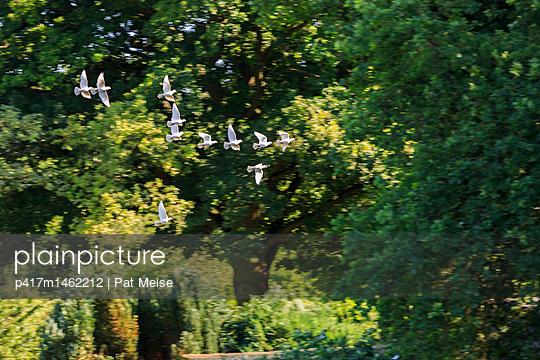 weiße Taube - p417m1462212 von Pat Meise