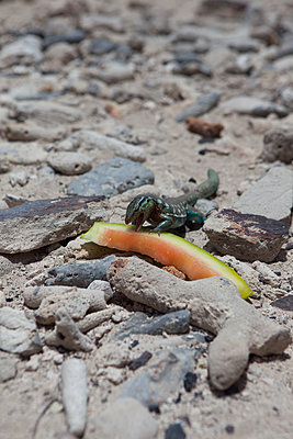 Leguan frisst an einer Wassermelone - p045m2005021 von Jasmin Sander