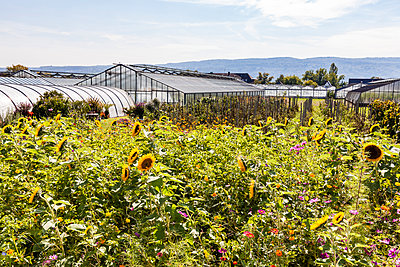 Germany, Constance district, Reichenau Island, greenhouses and sunflowers in the foreground - p300m1587832 von Werner Dieterich