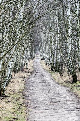 Birch alley - p739m1118933 by Baertels