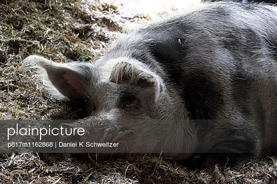 Schwein - p817m1162868 von Daniel K Schweitzer