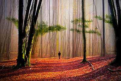 A person walking in a woodland of tall trees with sun shining on the ground covered with autumn leaves.  - p1100m1425021 by Mint Images