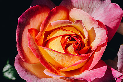 Gentle rose with drops of dew on floral background - p1166m2072122 by Cavan Images