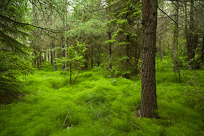 Trees growing on grassy field in forest - p1166m2112294 by Oscar Bjarnason