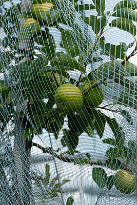Protective net and apple tree - p1229m2108576 by noa-mar