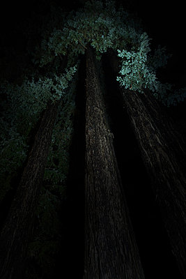 Redwood tree at night - p1134m1440756 by Pia Grimbühler