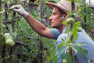 Farmer cleans the cultivated black cherry tomatoes - p1166m2129506 by Cavan Images