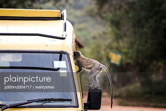 Uganda, Queen Elisabeth National Park, Curious vervet monkey climing on off-road vehicle - p300m2004717 von realitybites