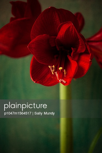 Open flowers on red amaryllis plant - p1047m1564517 by Sally Mundy