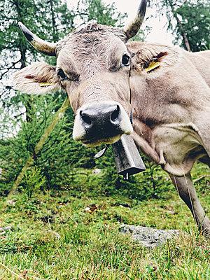 Kuh mit Glocke - p318m1170031 von Christoph Eberle