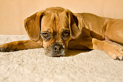 Cute dog lying on carpet - p6890051 by Patryce Bak