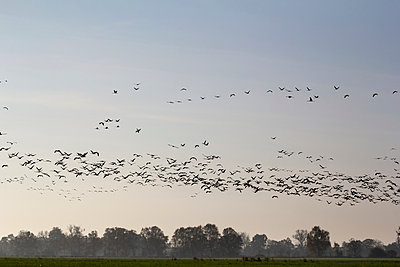 Flock of cranes - p739m949505 by Baertels